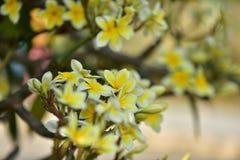 Flor blanca o flor amarilla Foto de archivo libre de regalías