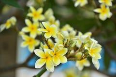 Flor blanca o flor amarilla Imagen de archivo