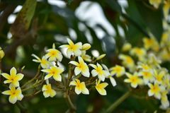 Flor blanca o flor amarilla Fotos de archivo
