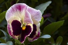 Flor blanca púrpura violeta del pensamiento Imagen de archivo