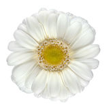 Flor blanca perfecta del Gerbera aislada en blanco Imágenes de archivo libres de regalías