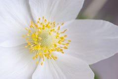 Flor blanca, primer Foto de archivo