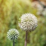 Flor blanca redonda grande con el saltamontes verde Foto de archivo libre de regalías