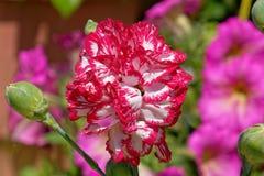 Flor blanca roja colorida del clavel en el jardín foto de archivo libre de regalías