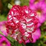 Flor blanca roja colorida del clavel en el jardín imágenes de archivo libres de regalías