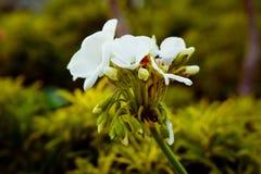 Flor blanca romántica hermosa fotografía de archivo libre de regalías