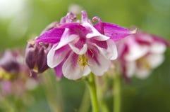Flor blanca rosada de Aquilegia Fotos de archivo libres de regalías