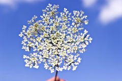Flor blanca salvaje foto de archivo