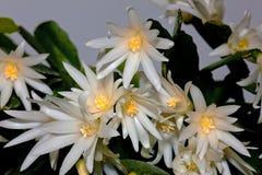 Flor blanca Schlumberger Imagenes de archivo
