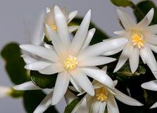 Flor blanca Schlumberger Fotografía de archivo