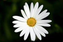 Flor blanca simple hermosa en el jardín Imágenes de archivo libres de regalías