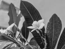 Flor blanca sola fotos de archivo