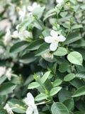Flor blanca, Tailandia Fotos de archivo libres de regalías
