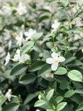 Flor blanca, Tailandia Foto de archivo