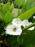 Flor blanca y abeja Imagenes de archivo