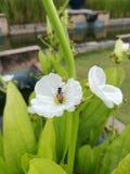 Flor blanca y abeja Foto de archivo libre de regalías
