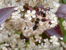 Flor blanca y abeja Fotografía de archivo libre de regalías