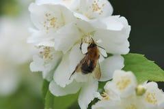 Flor blanca y abeja de la primavera Foto de archivo