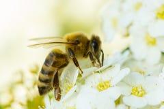 Flor blanca y abeja de la primavera Abeja en una flor Imagen de archivo libre de regalías