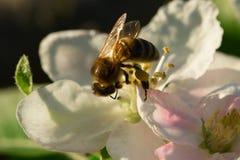 Flor blanca y abeja de la primavera Abeja en una flor Imagen de archivo