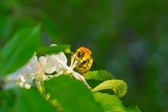 Flor blanca y abeja de la primavera Abeja en una flor Fotografía de archivo