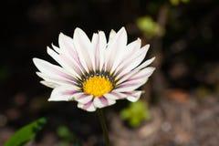 Flor blanca y amarilla Imagenes de archivo