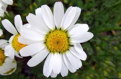 Flor blanca y amarilla de la manzanilla Fotografía de archivo