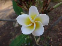 Flor blanca y amarilla del Frangipani - Fotos de archivo libres de regalías