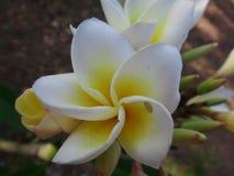 Flor blanca y amarilla del Frangipani - Imagen de archivo