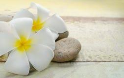 Flor blanca y amarilla del Frangipani Imagenes de archivo