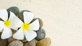 Flor blanca y amarilla del Frangipani Foto de archivo