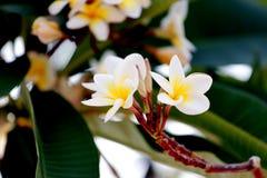Flor blanca y amarilla del Frangipani en árbol. Fotografía de archivo