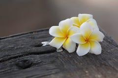 Flor blanca y amarilla del Frangipani en el bosque viejo. Fotografía de archivo libre de regalías