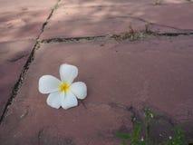 Flor blanca y amarilla del plumeria en el fondo de piedra del piso imagen de archivo
