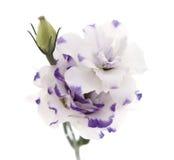 Flor blanca y azul de Lisianthus aislada en blanco Fotografía de archivo libre de regalías