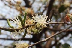 Flor blanca y fruta en el árbol fotografía de archivo libre de regalías