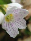 Flor blanca y púrpura Foto de archivo