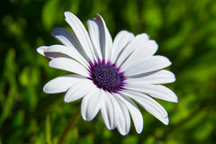 Flor blanca y púrpura imágenes de archivo libres de regalías