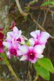 Flor blanca y púrpura de la orquídea Fotos de archivo