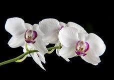 Flor blanca y púrpura de la orquídea en un fondo negro Foto de archivo