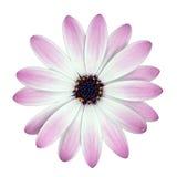 Flor blanca y rosada de Osteosperumum aislada Foto de archivo