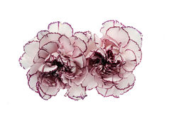 Flor blanca y rosada del clavel Imagen de archivo libre de regalías
