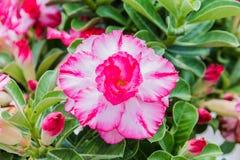 Flor blanca y rosada del desierto, obesum del adenium Foto de archivo