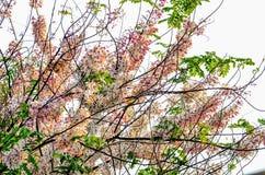 Flor blanca y rosada hermosa de Tailandia Foto de archivo libre de regalías