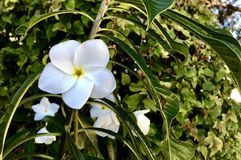 flor blanca y vides fotografía de archivo libre de regalías