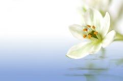 Flor blanco Imagen de archivo libre de regalías
