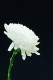 Flor blanco de la flor del crisantemo Fotos de archivo libres de regalías