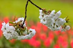Flor blanco de la manzana contra un fondo rojo del tulipán Imagen de archivo