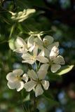 Flor blanco de la pera Fotografía de archivo