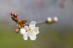 Flor blanco de la primavera del manzano Foto de archivo